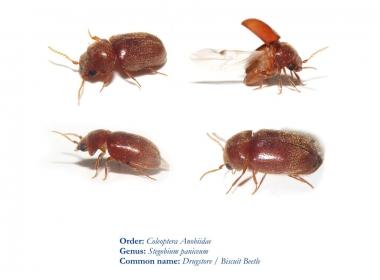 ازاي اتخلص من حشرة خنفساء الصدئية biscuit beetle